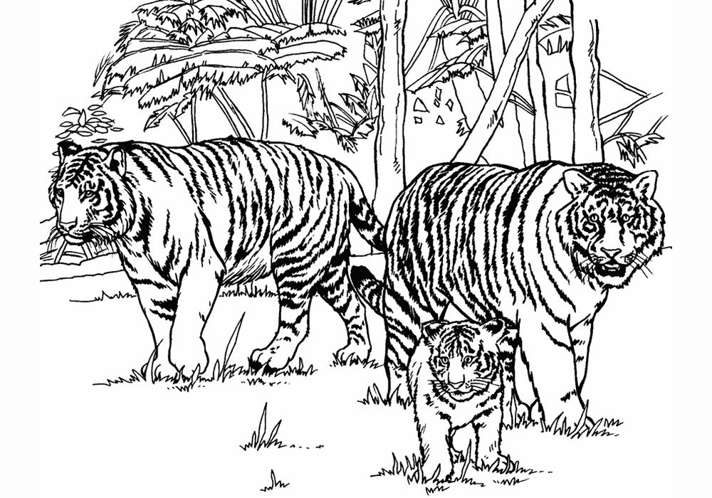 амурский тигр фото для раскраски герои мультика приходят