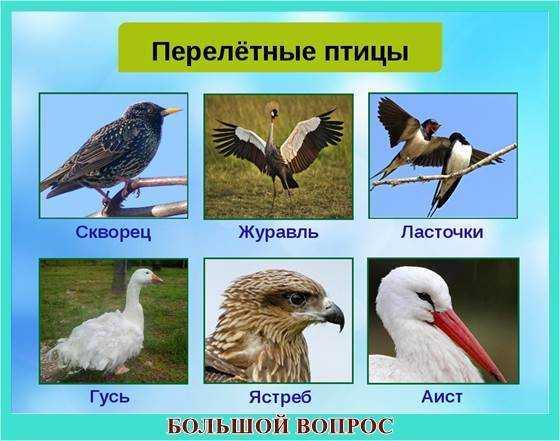 Реферат про перелетных птиц 8946